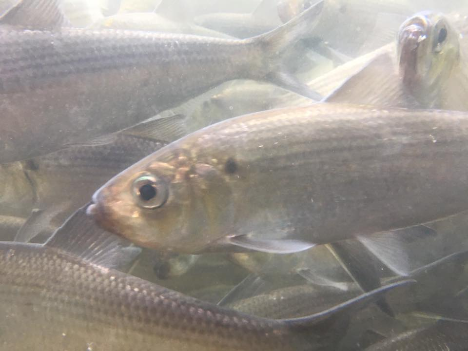 Stock Assessment Update: River Herring Remain Depleted Though Improvements Have Occurred