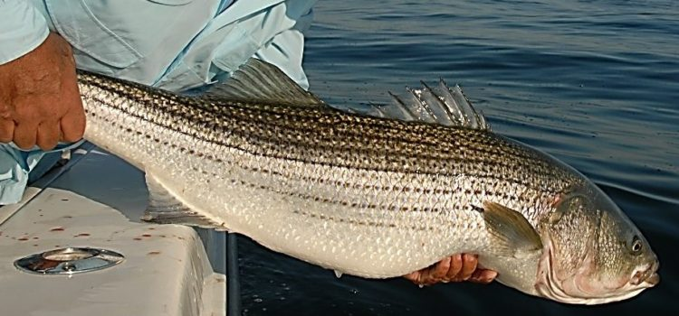 "On Addendum V and ""Liberalizing"" Striped Bass Regs"